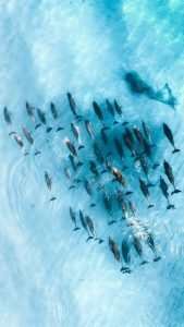 Drone Picture dolphins and fish